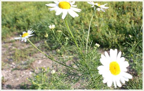 blomma lik prästkrage